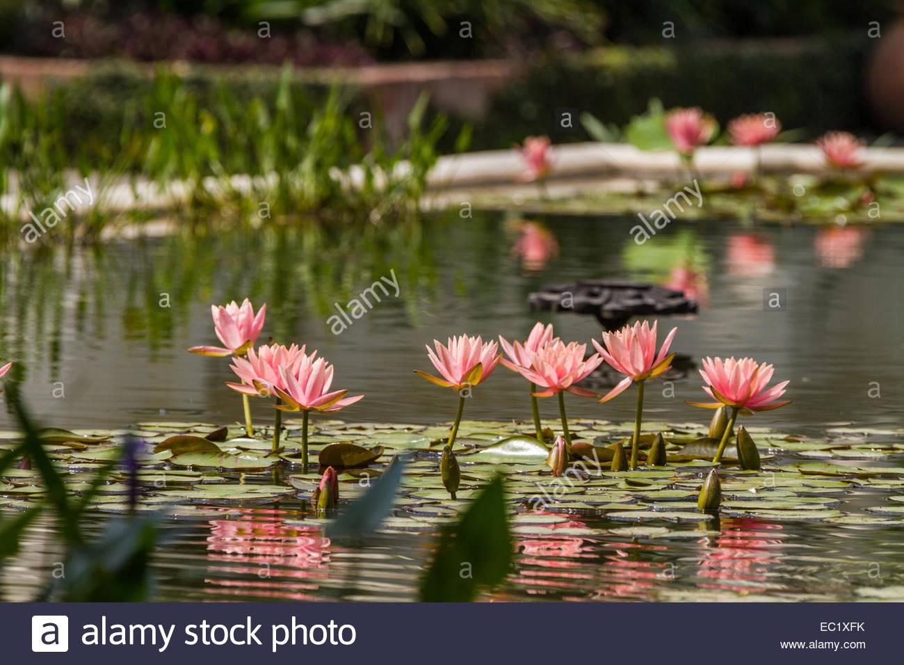 Lotus flowers pond nepal stock photos lotus flowers pond nepal lotus in pond nepal stock image izmirmasajfo