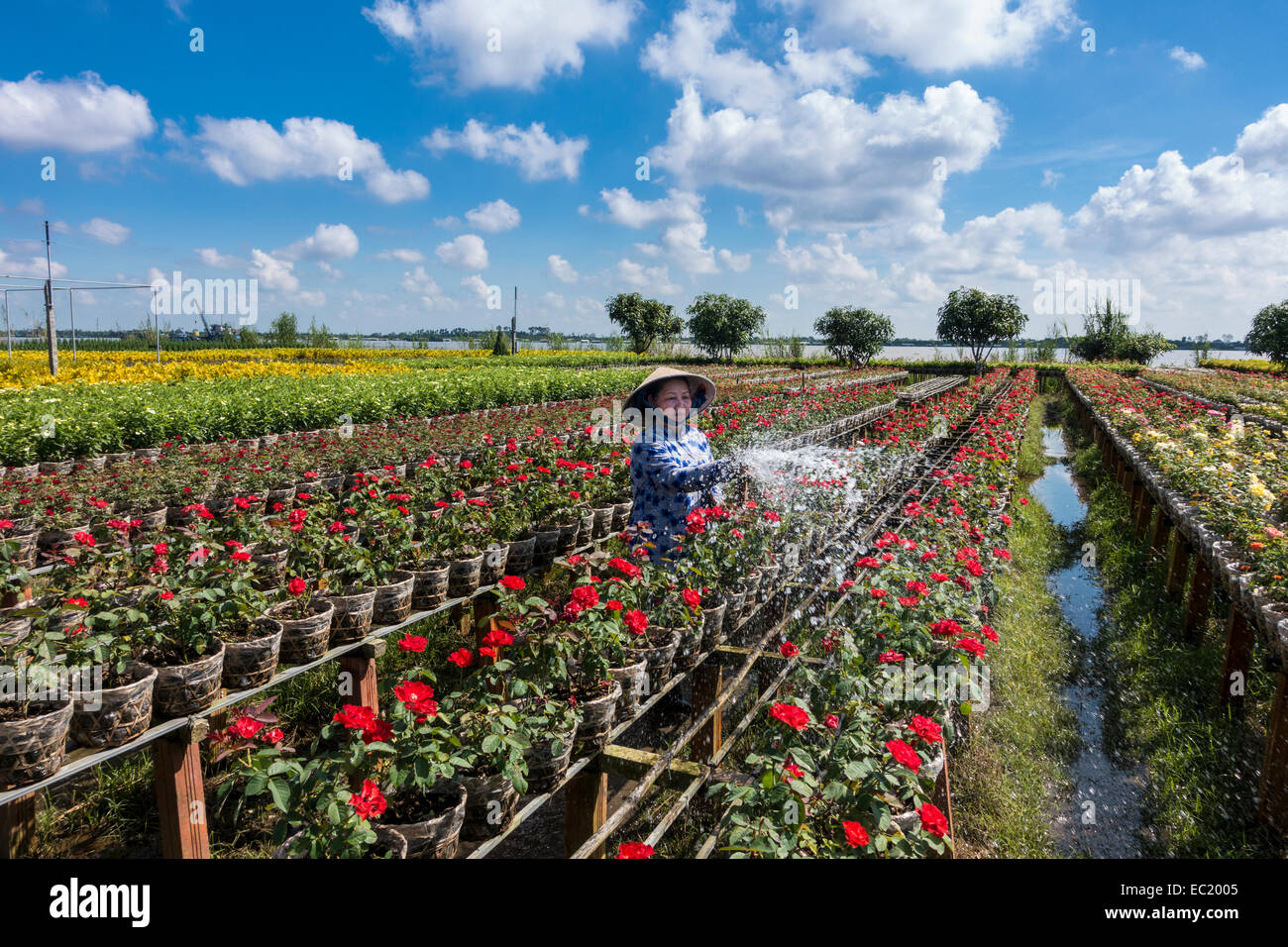 Worker watering the flowers, market garden, Sa dec, Long Xuyen, Mekong Delta, Vietnam - Stock Image