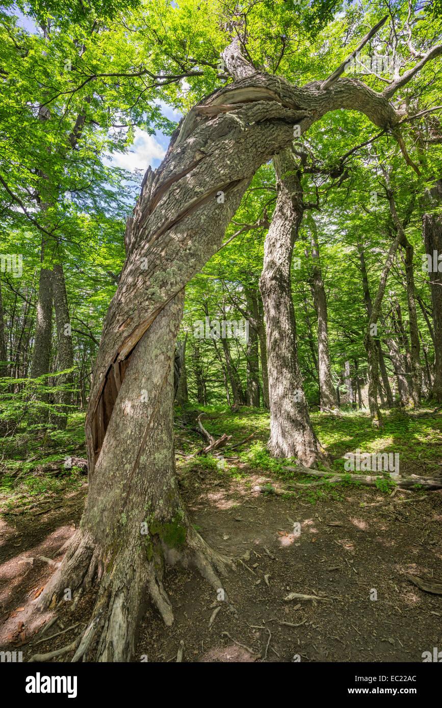Twisted tree trunk in the Valle Ascencio, Torres del Paine National Park, Magallanes y la Antártica Chilena - Stock Image