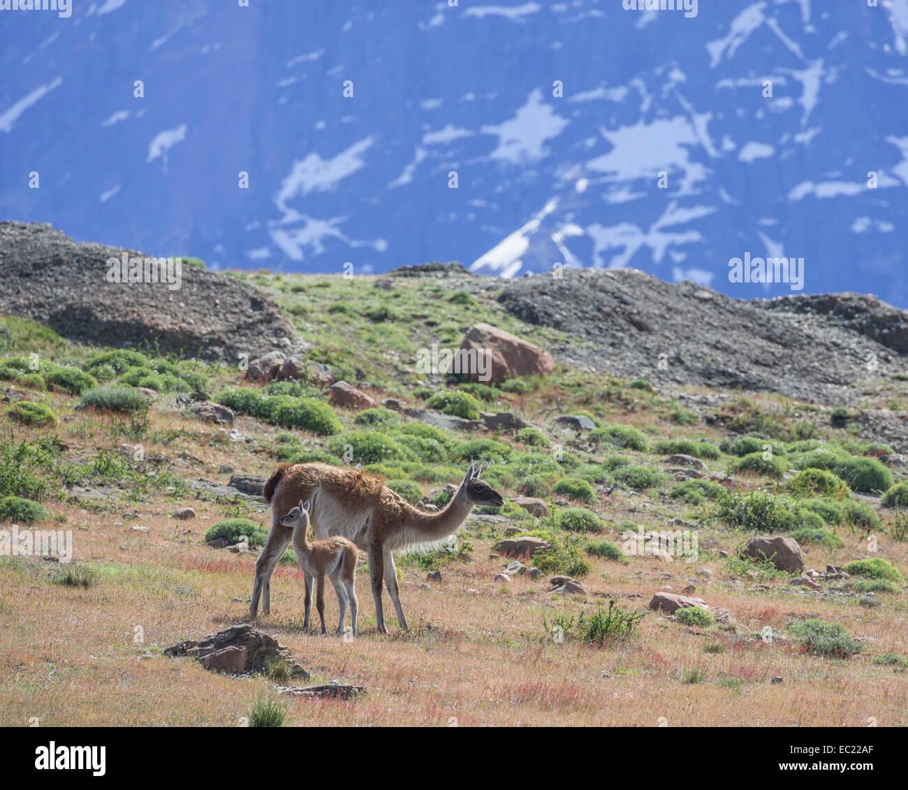 Guanaco (Llama guanicoe) with young, Torres del Paine, Magallanes y la Antártica Chilena Region, Chile Stock Photo