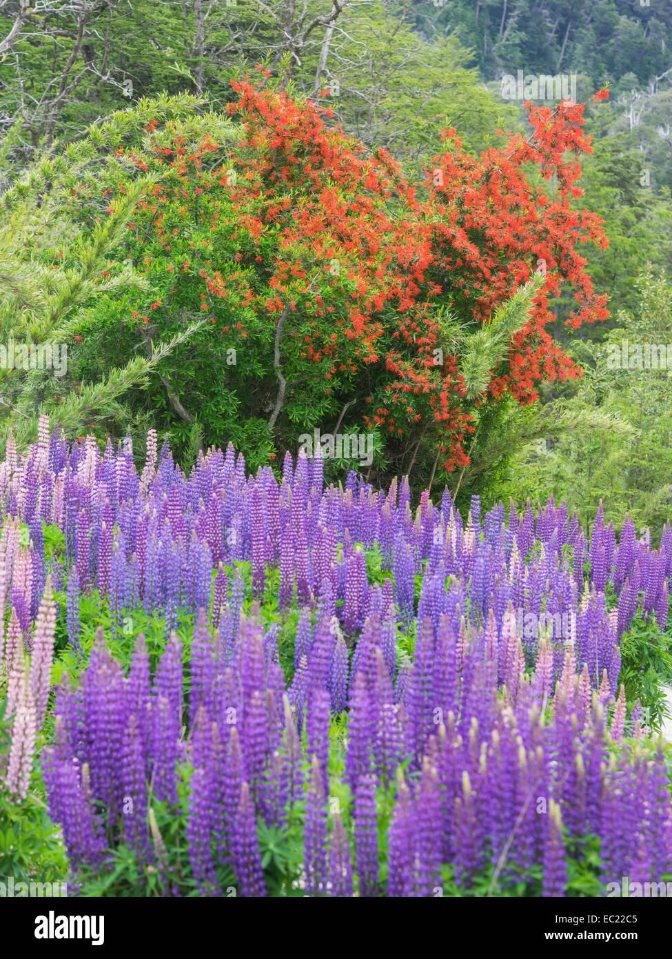 Lupines (Lupinus sp.) and Chilean firebush (Embothrium coccineum), Neuquén Province, Argentina - Stock Image