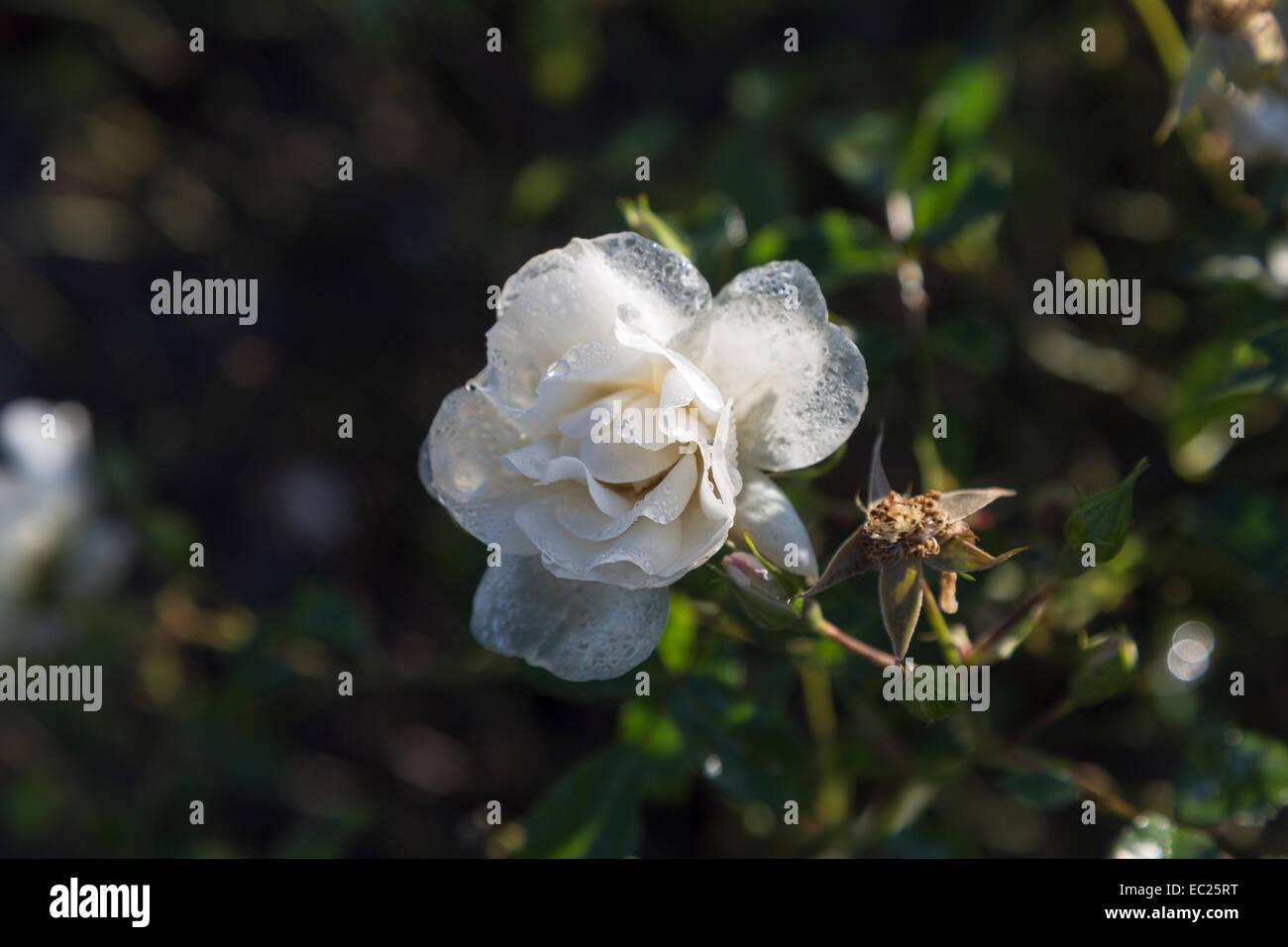 Flower carpet rose stock photos flower carpet rose stock images flower carpet white naoschnee a hardy white semi double ground cover rose mightylinksfo