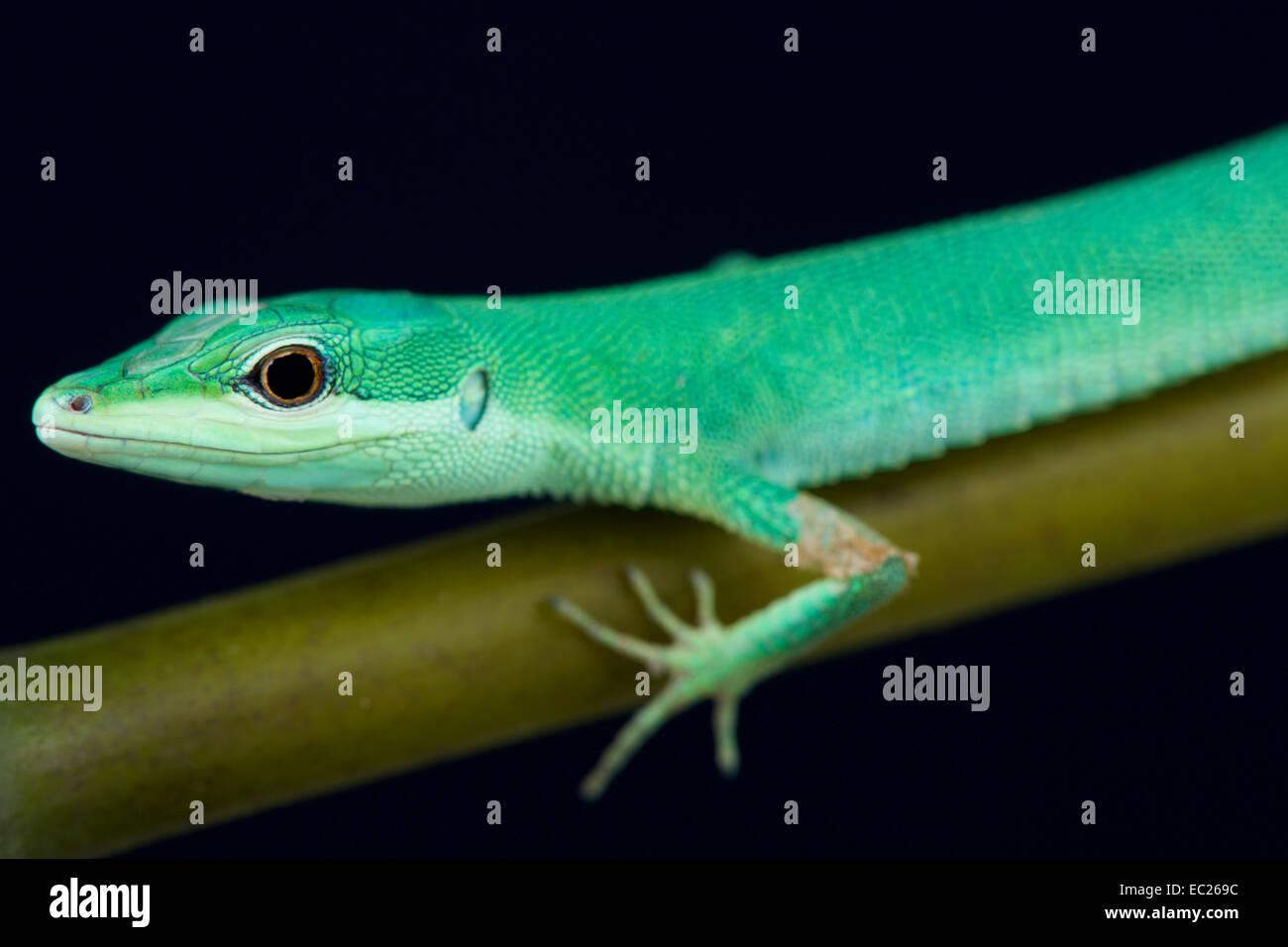 Emerald grass lizard / Takydromus smaragdinus - Stock Image