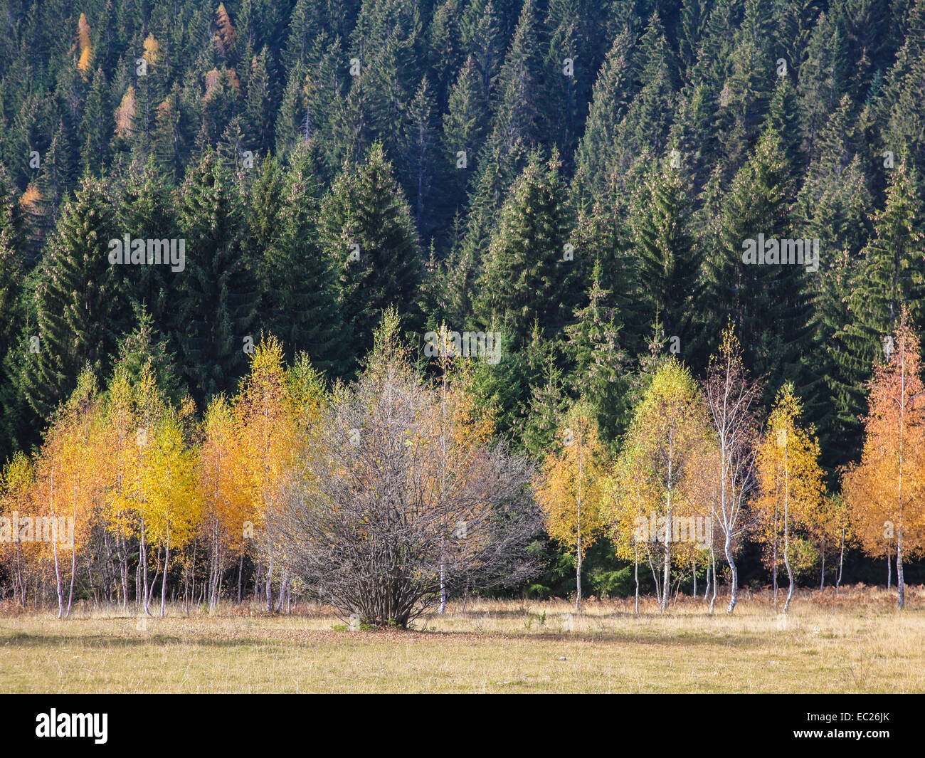 Colorful autumn forest on mountain Zlatar, Serbia - Stock Image