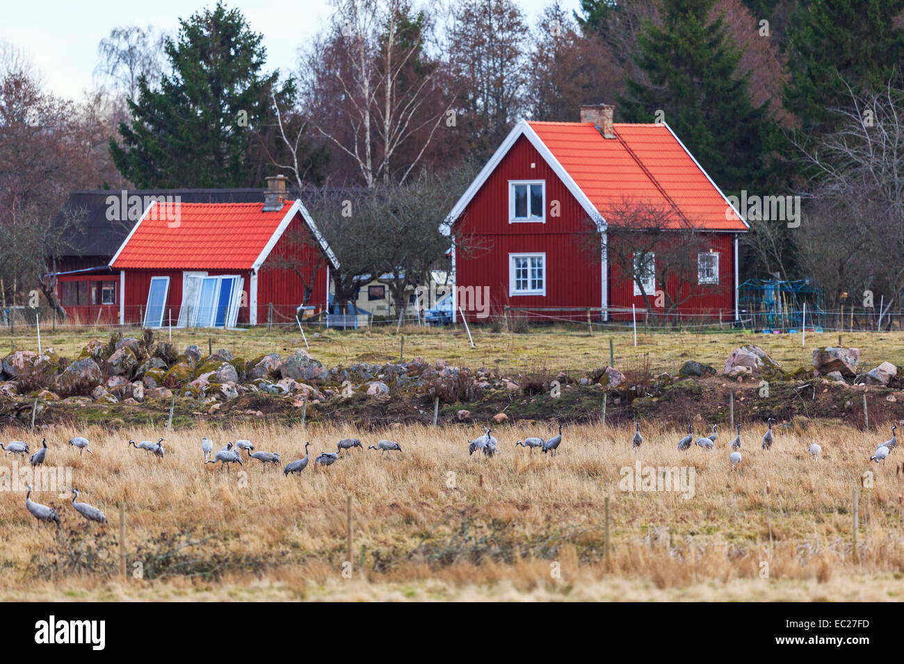 Flock of cranes in the field at the farm - Stock Image