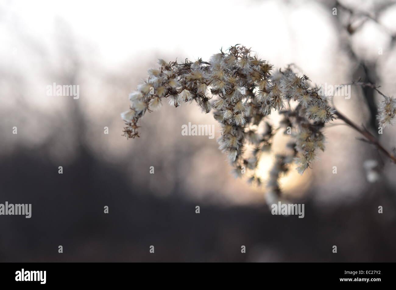 ragweed fluff - Stock Image