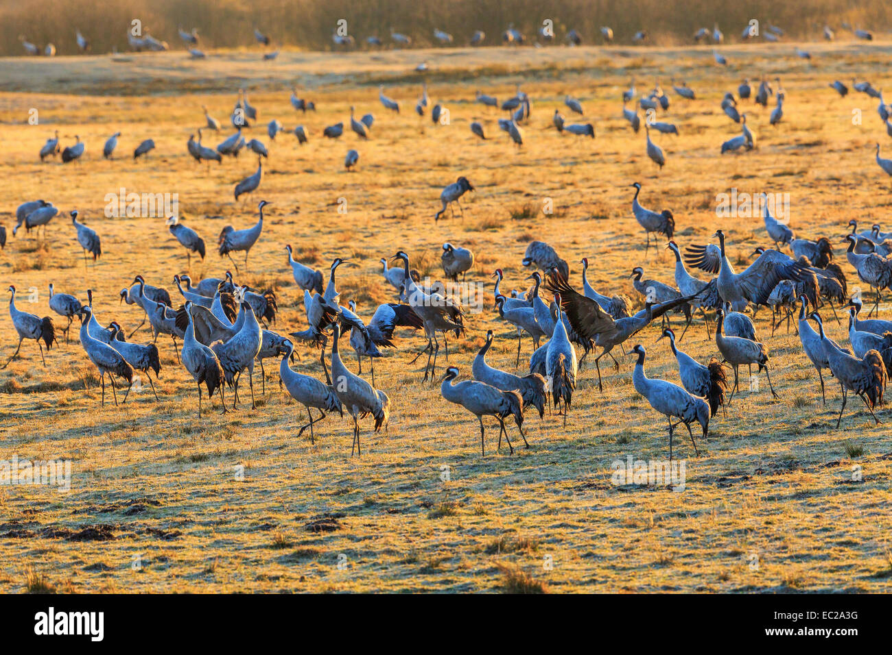 Flock of cranes grazing on a field - Stock Image