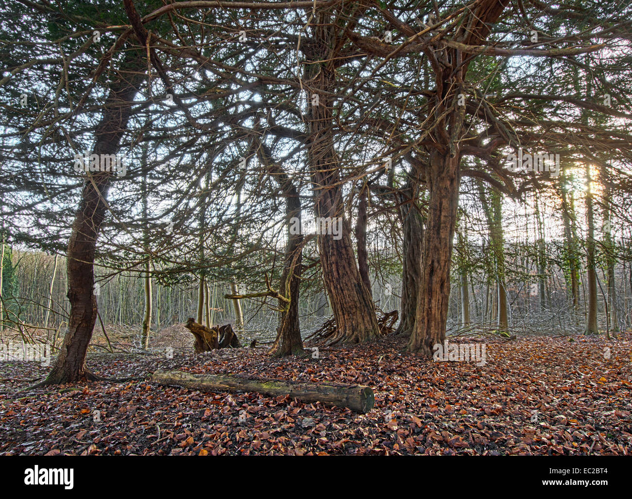 Yew trees in pine plantation - Stock Image