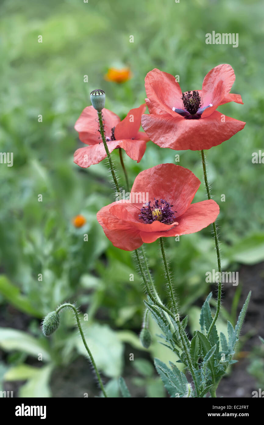 Meadow with beautiful bright red poppy flowers Papaver rhoeas in spring Stock Photo