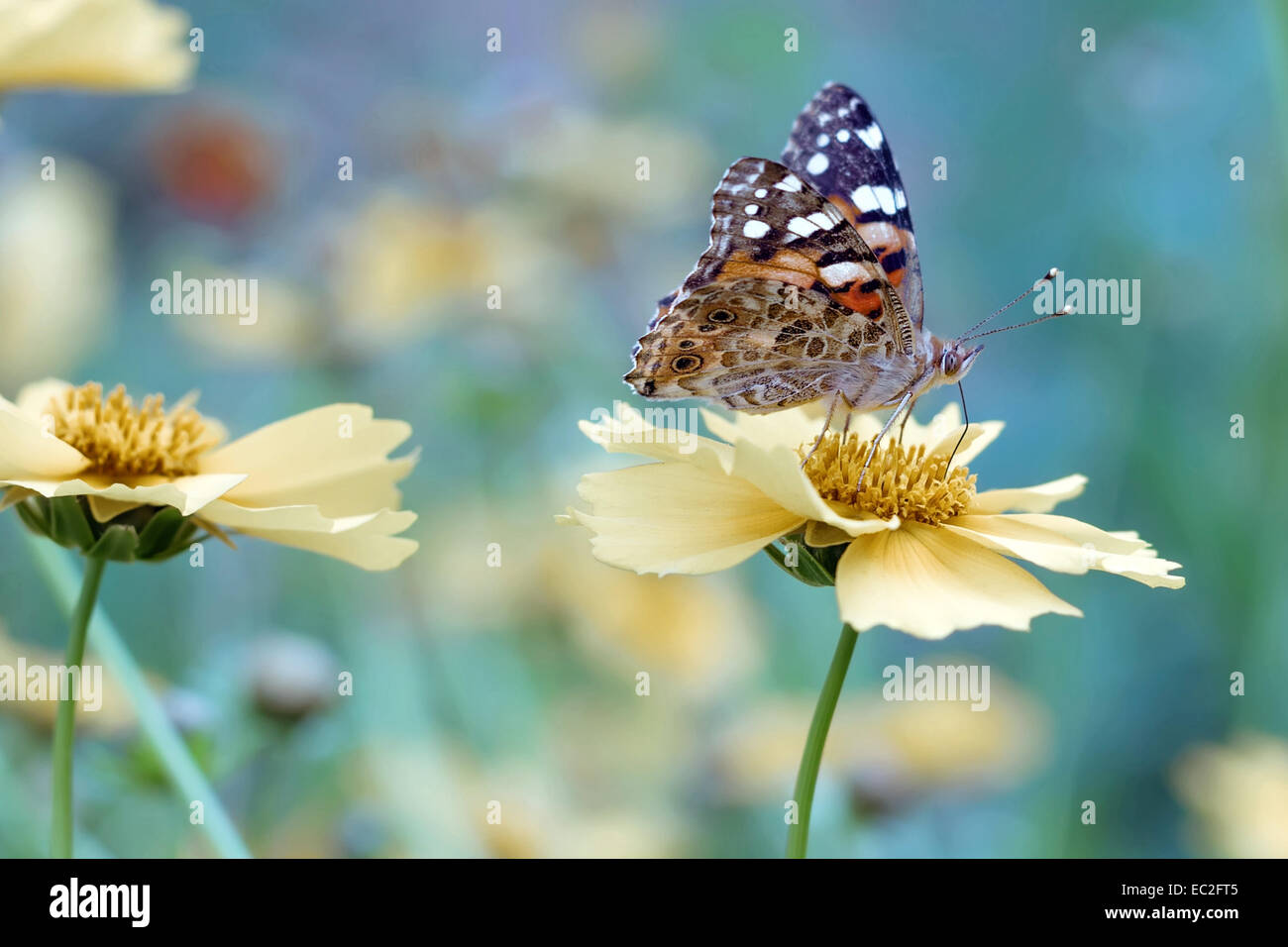 Butterfly on yellow flower in nature - Stock Image