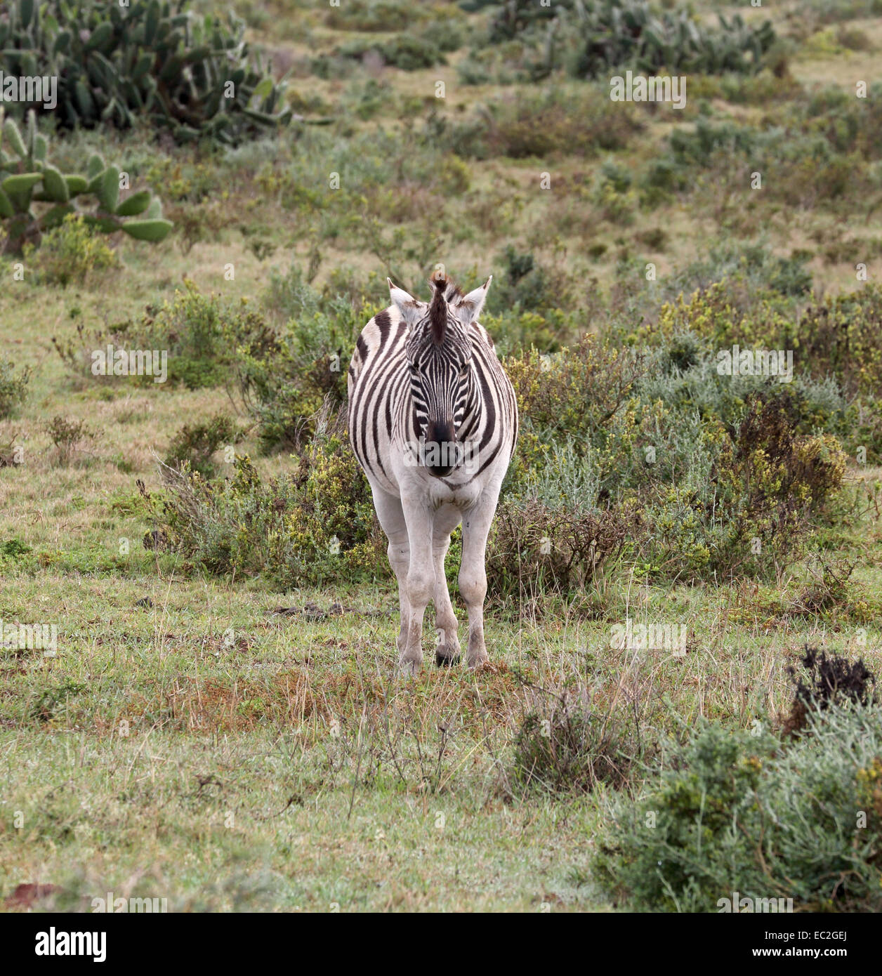 wild zebra at the kariega game reserve in south africa - Stock Image