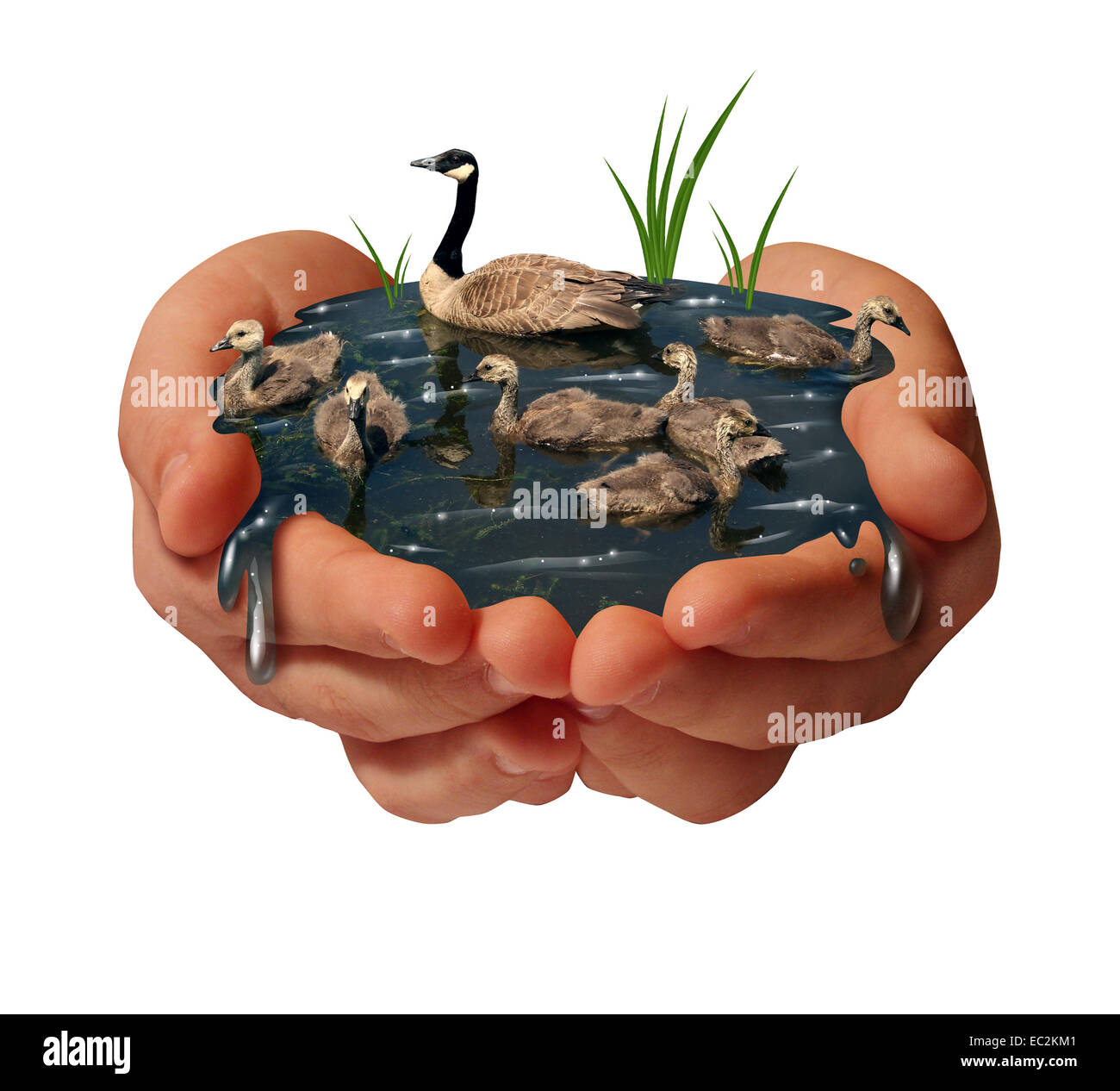 Environment protection and environmental conservation concept as a pair of human hands holding a family of geese - Stock Image