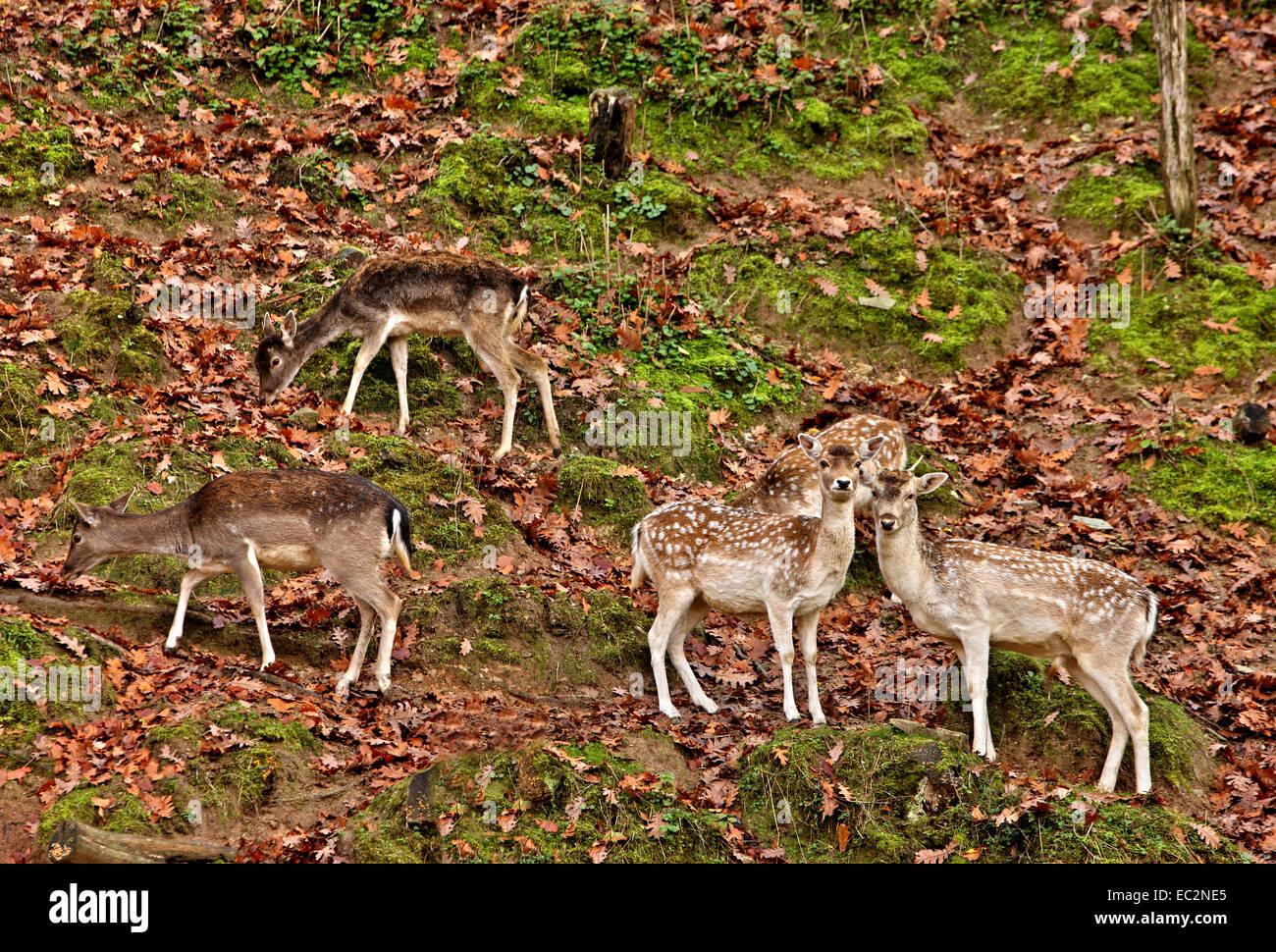 'Hide 'n' seek' with the deer on Titaros mountain, close to Aghios Demetrios village, Pieria, Macedonia, - Stock Image