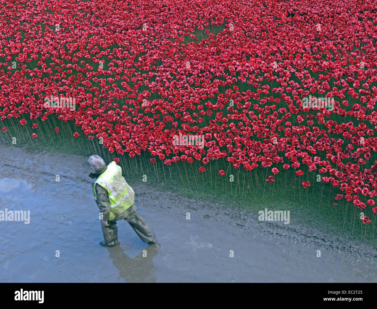 Volunteer passes Blood Swept Lands and Seas of Red poppies, at The Tower of London, England UK - Stock Image
