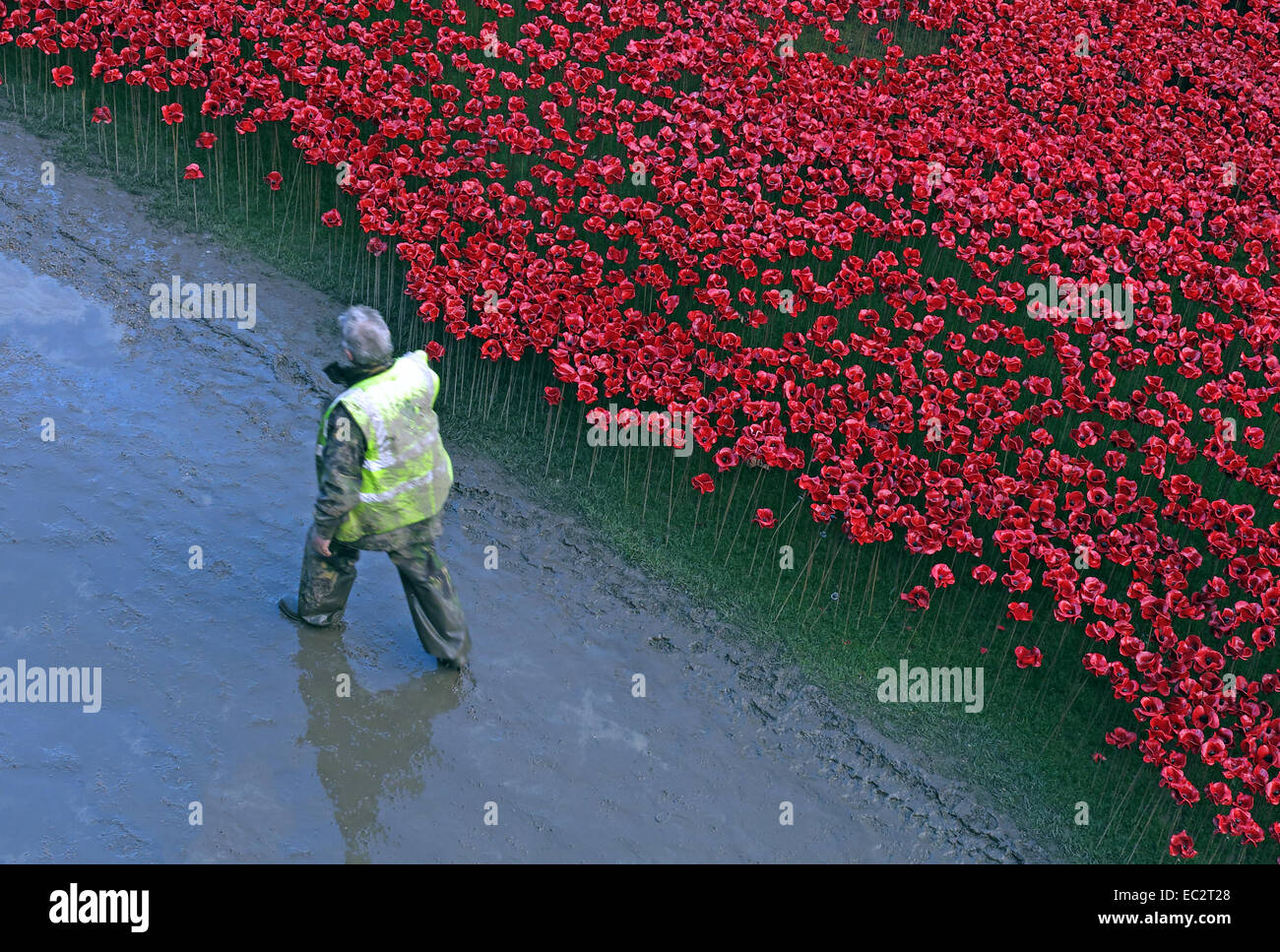 Volunteer next to Blood Swept Lands and Seas of Red poppies, at The Tower of London, England UK Stock Photo