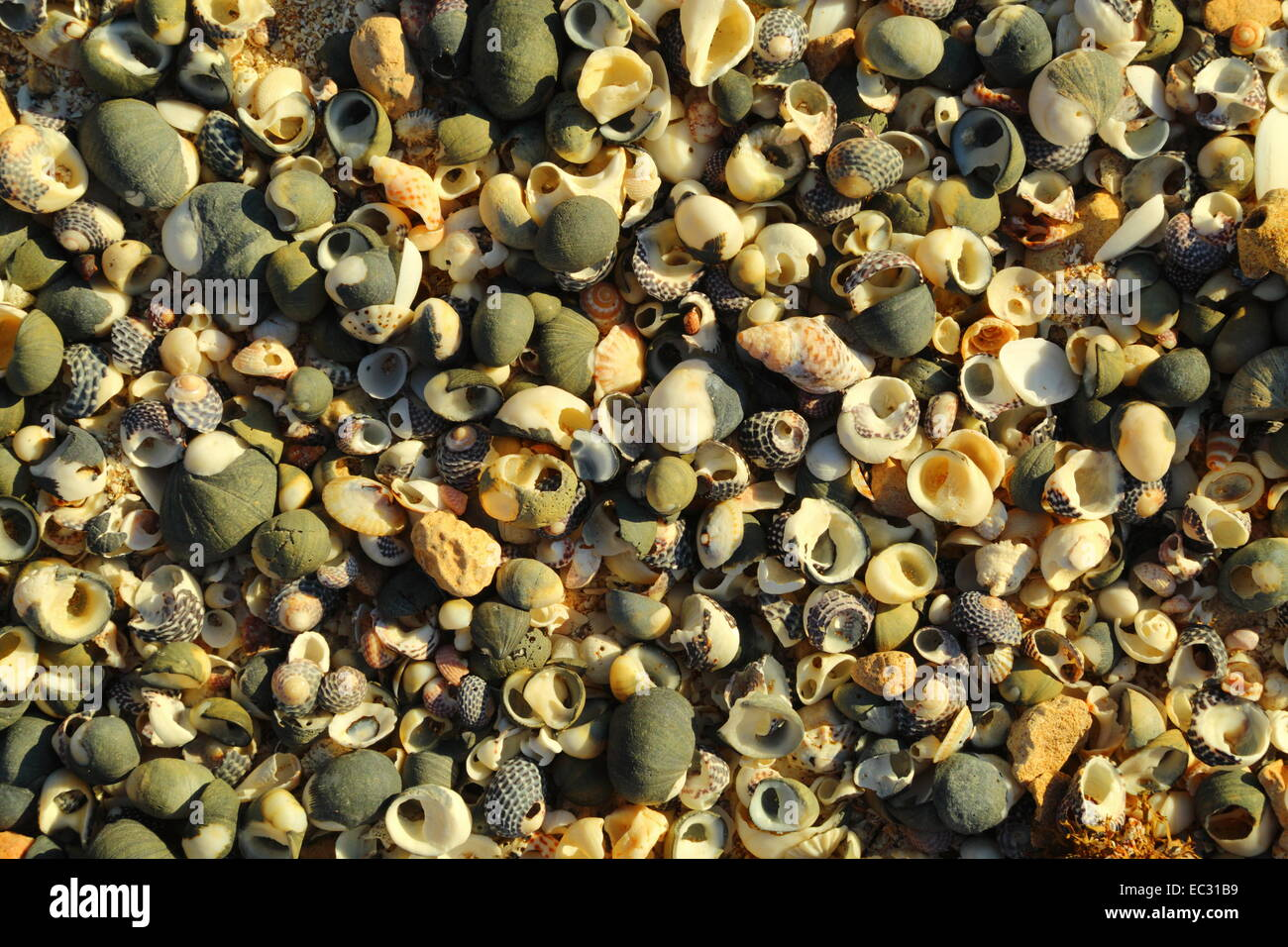 Assorted shells washed up on a beach at The Granites, Streaky Bay, South Australia. - Stock Image