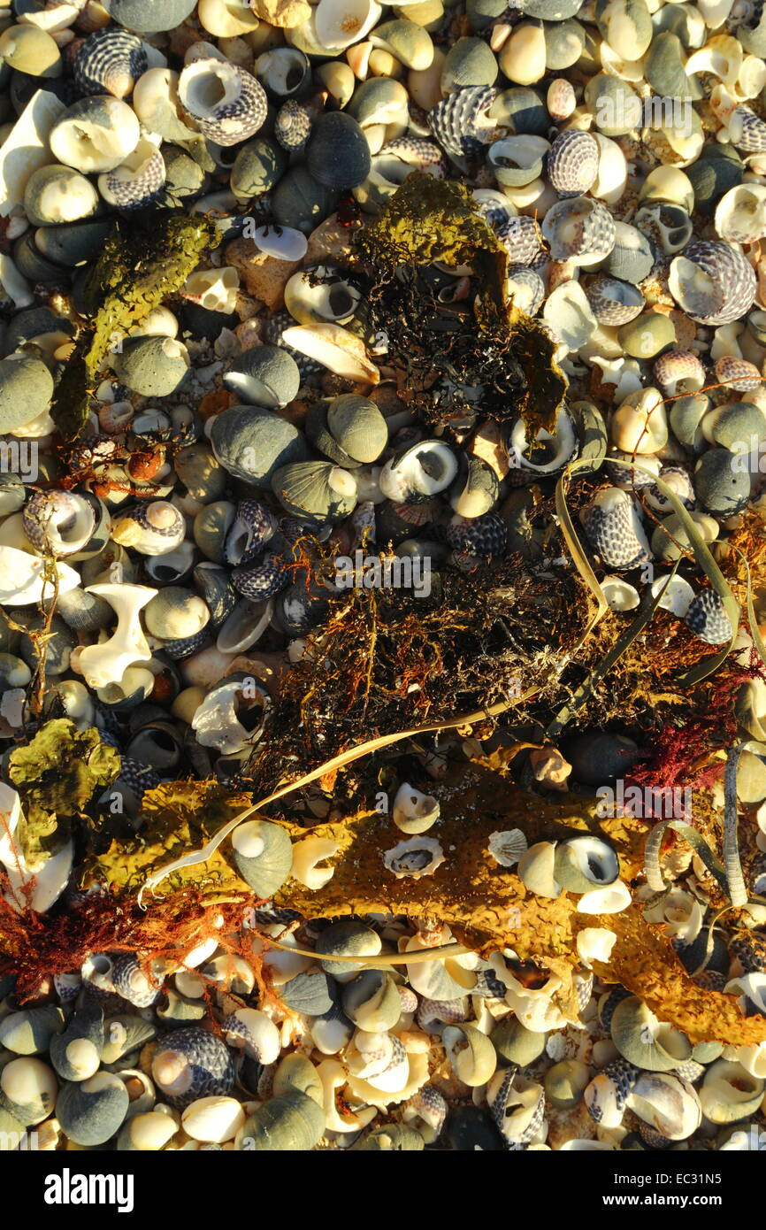Assorted shells and sea plants washed up on a beach at The Granites, Streaky Bay, South Australia. - Stock Image