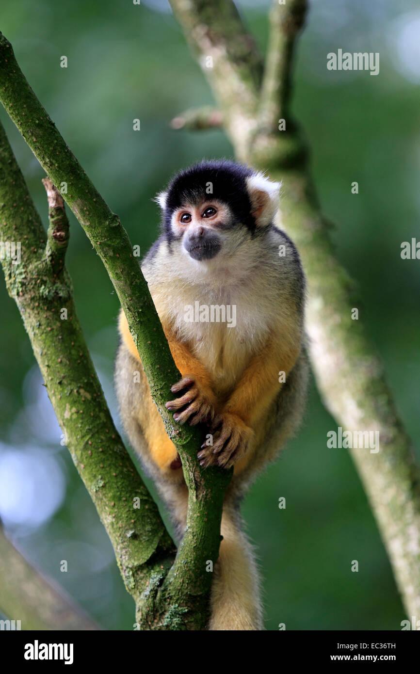 Totenkopfaeffchen, (Saimiri sciureus), Affen, Primaten