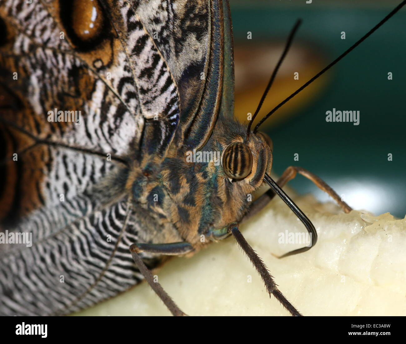 Forest Giant Owl Butterfly (Caligo eurilochus) extreme close-up of the head and eyes Stock Photo