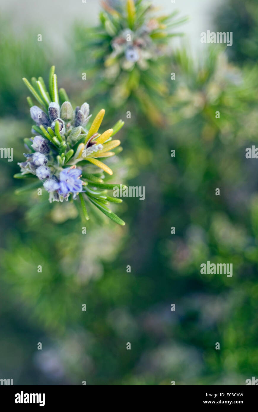 When the wild rosemary blooms: description, properties, features and reviews 18