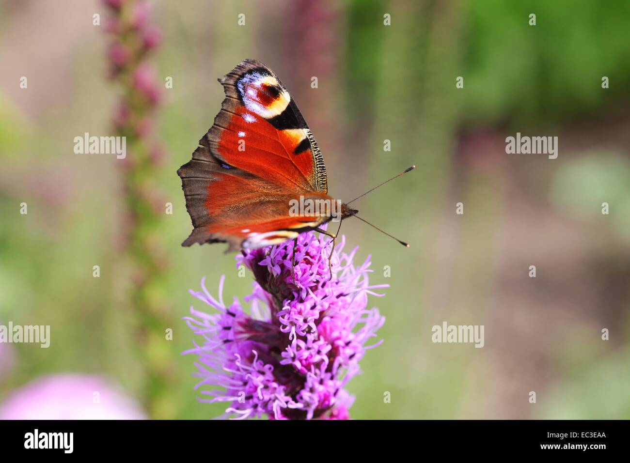 Eacock butterfly, Nymphalidae - Stock Image