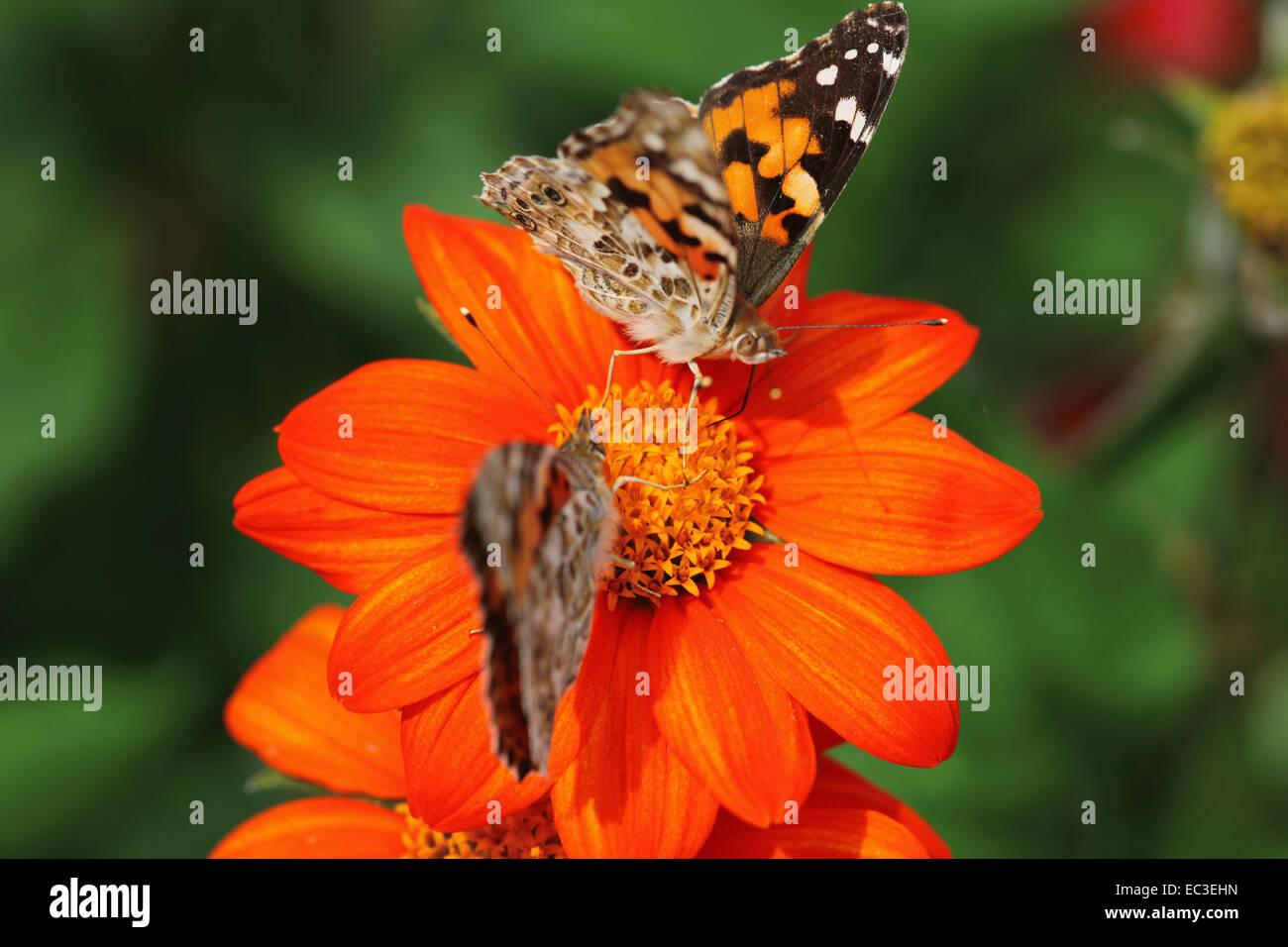Painted lady, Vanessa cardui, Nymphalidae - Stock Image