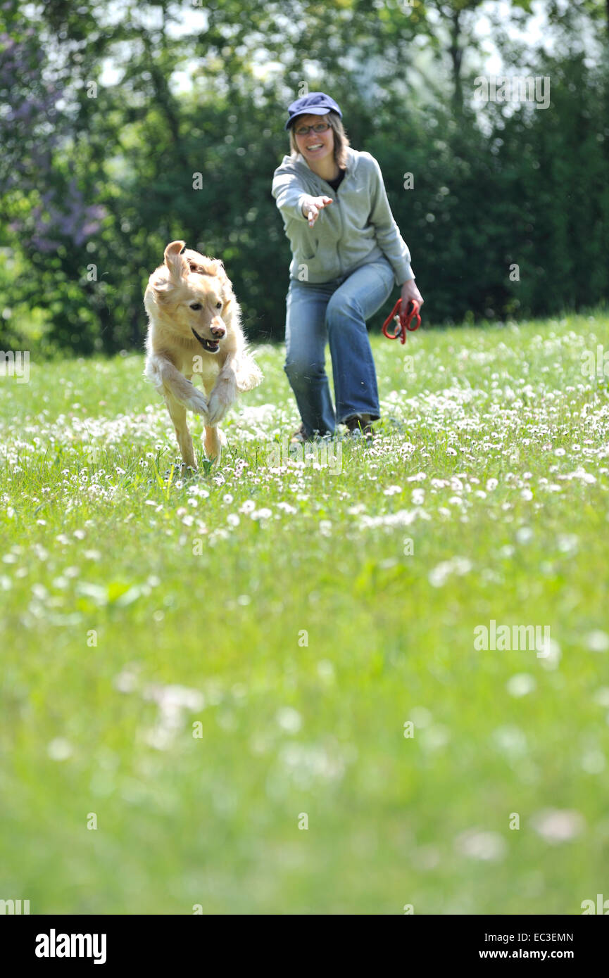 Dogplay and Training with a Hovawart Dog - Stock Image