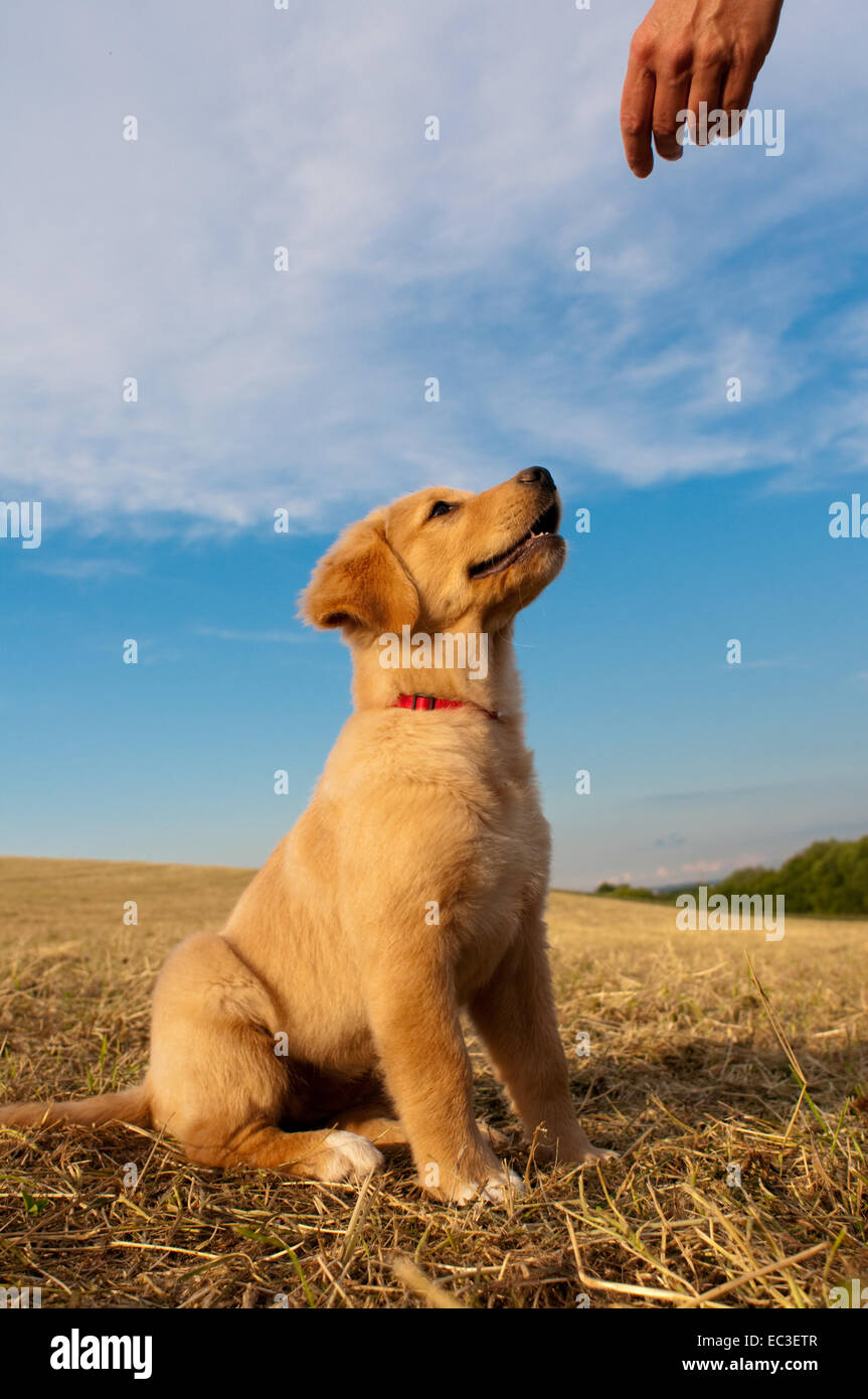 Dog Golden Retriever eagerly looks up to human hand - Stock Image