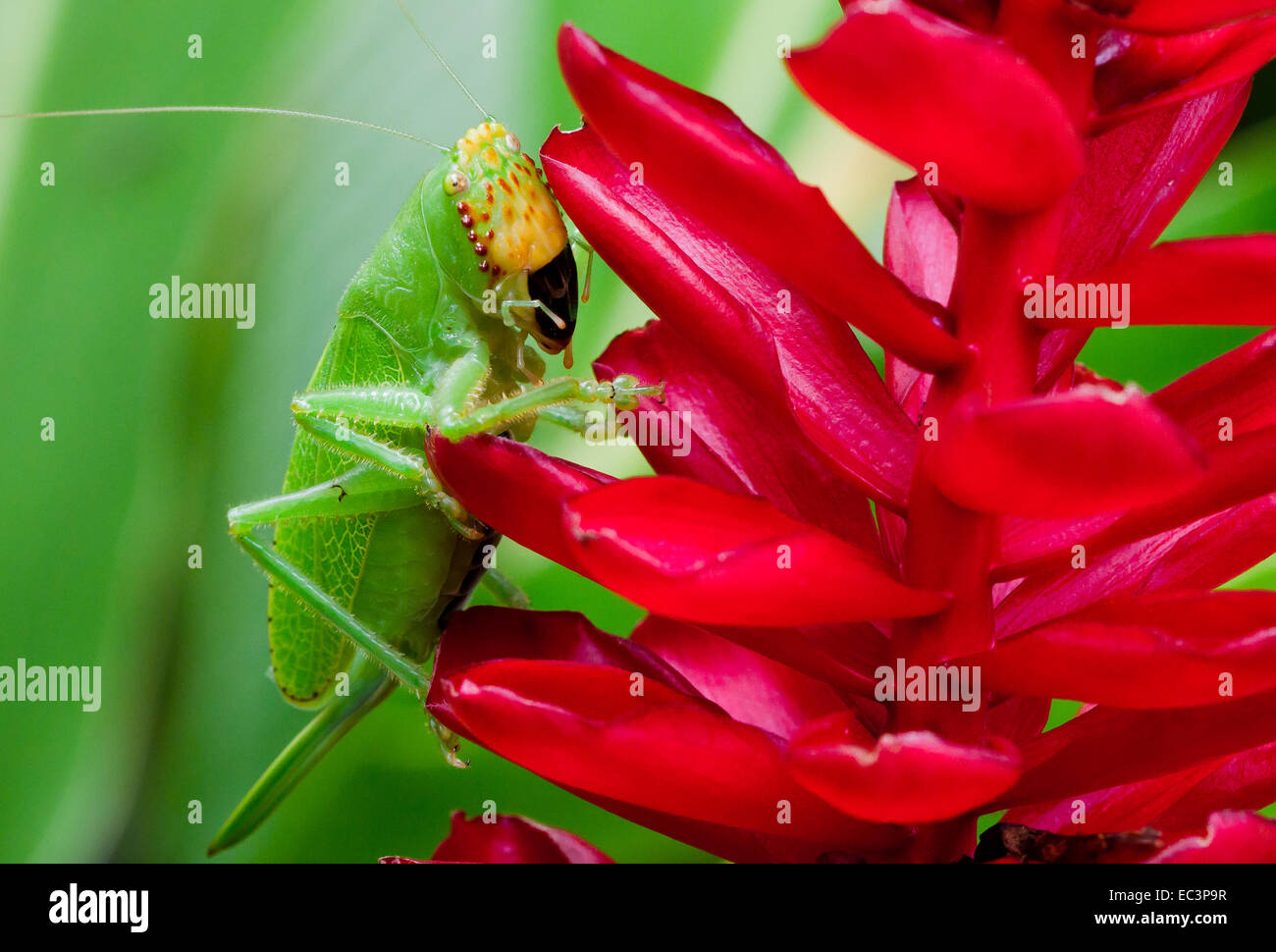PItbull Katydid in Tortuguero National Park, Costa Rica - Stock Image