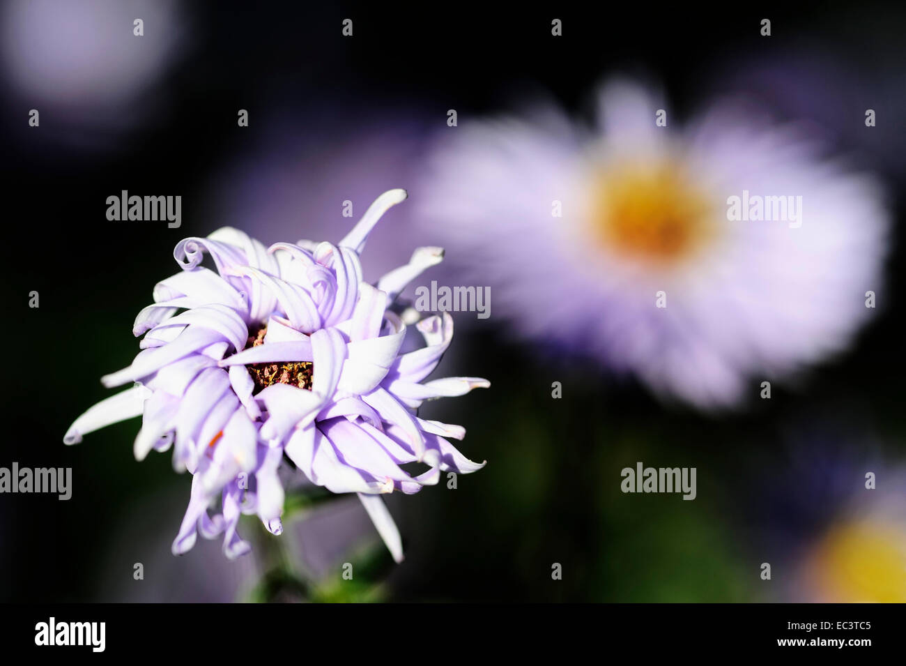 Withered flower, burnout syndrome - Stock Image