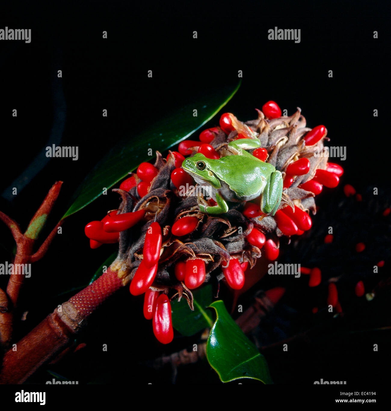 Mimicry - Italian tree frog (Hyla intermedia) on an inflorescence of magnolia with seeds - Stock Image