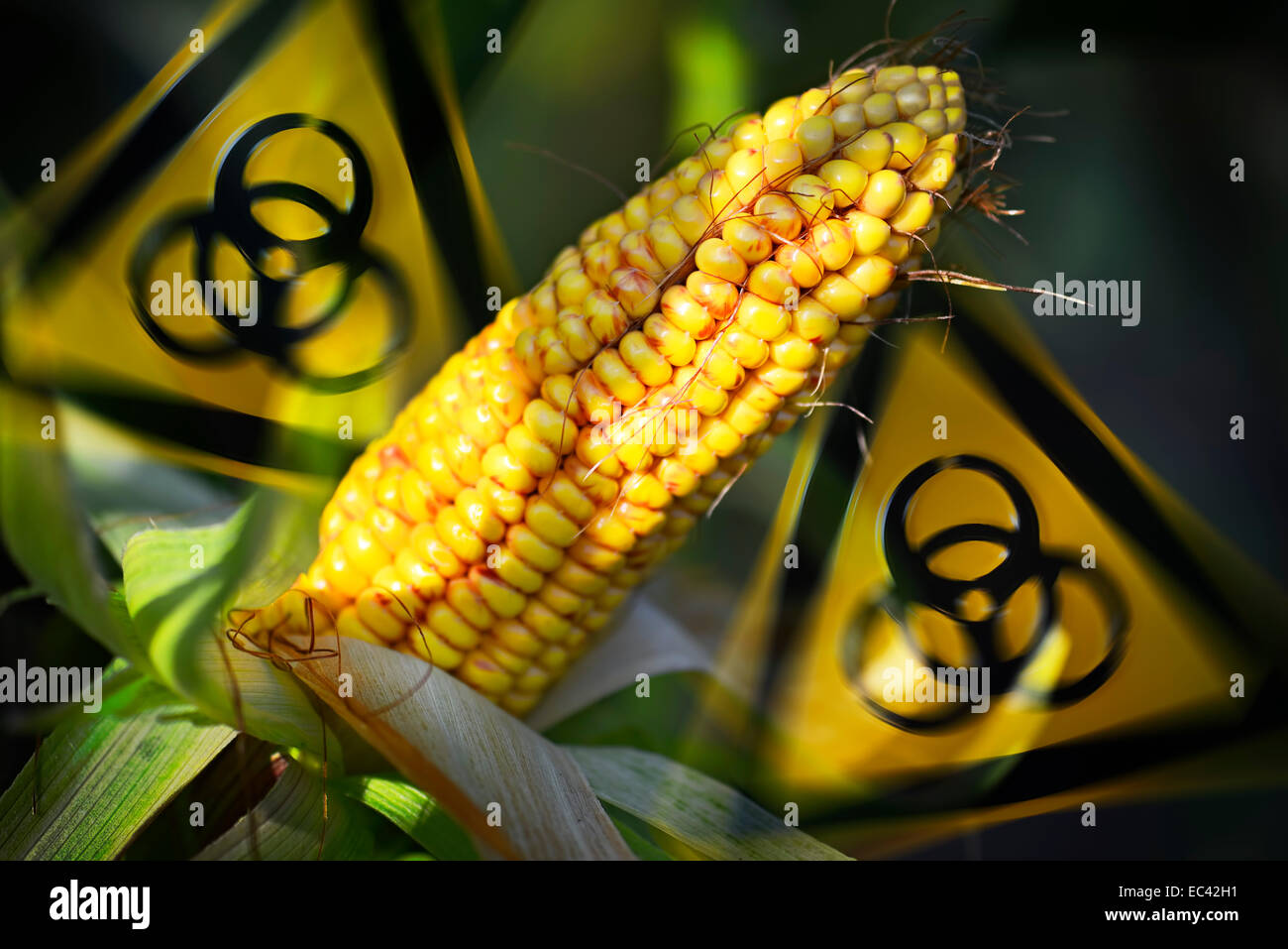 Corncobs and biohazard signs, genetically modified corn - Stock Image