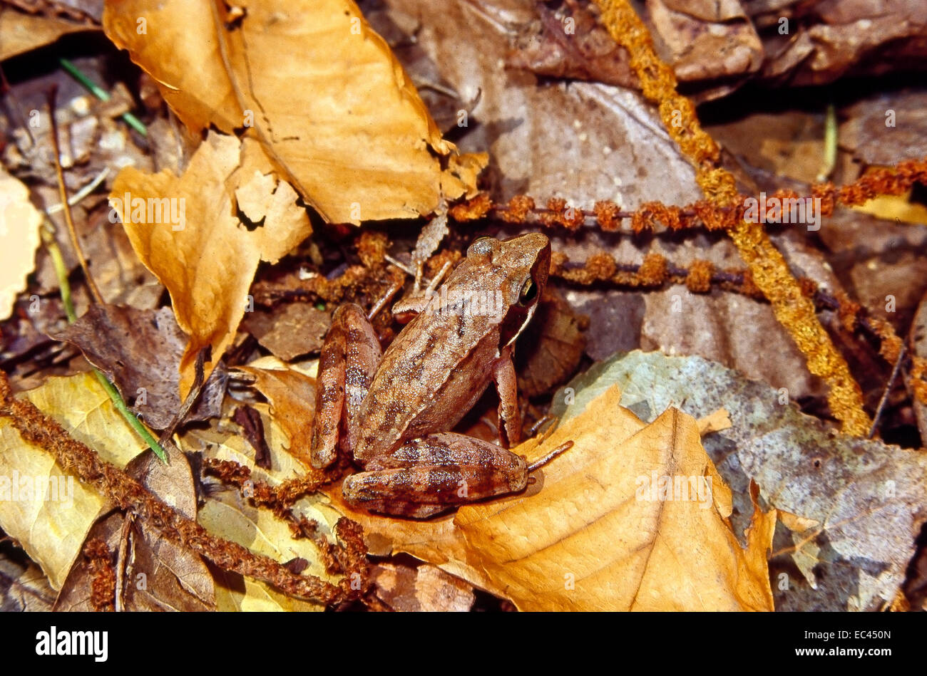 Mimicry - Italian Agile Frog (Rana latastei) camouflaged among the litter of fallen leaves in the undergrowth - Stock Image