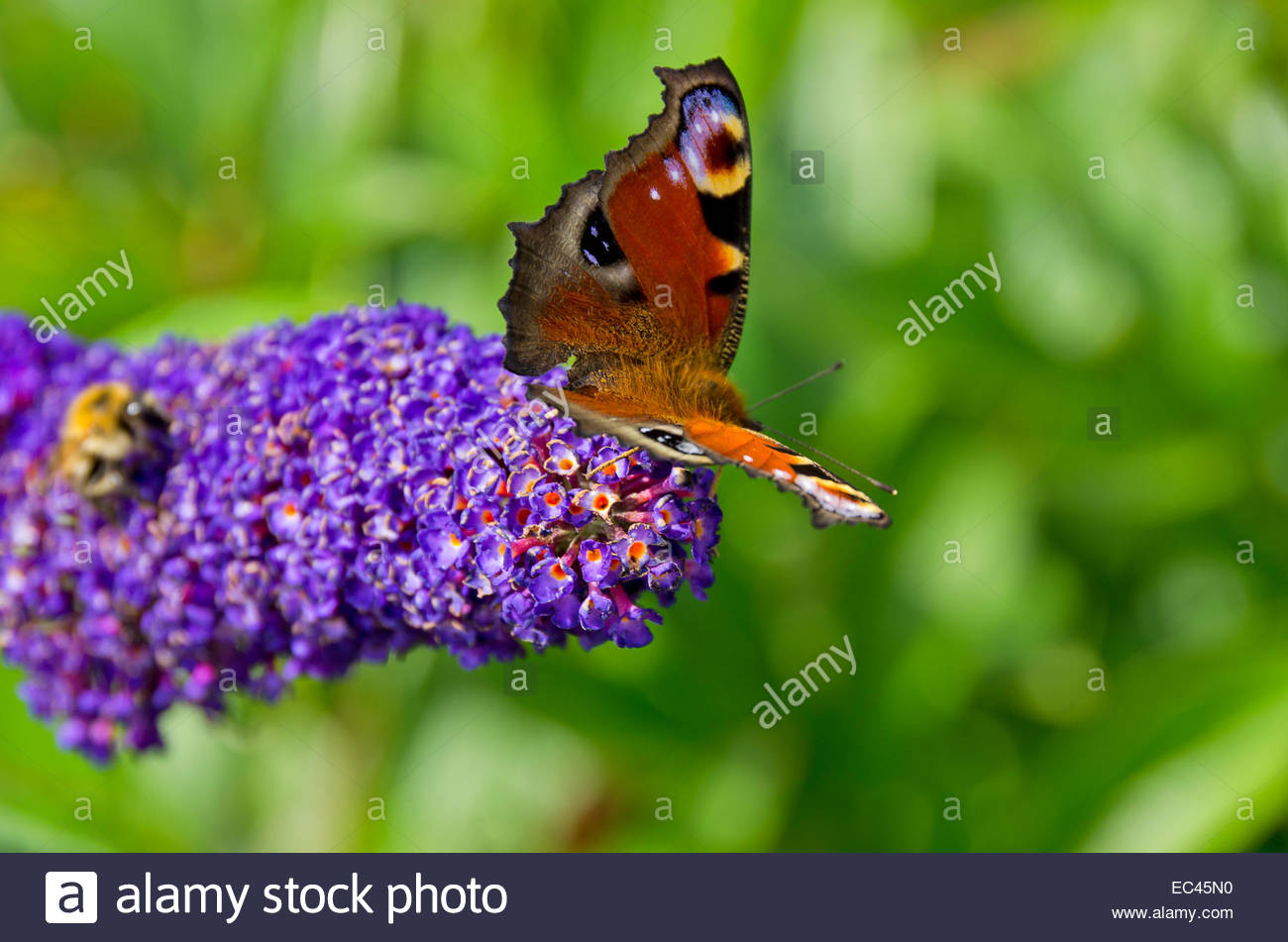 Peacock butterfly, Inachis io, on lilac blossom - Stock Image