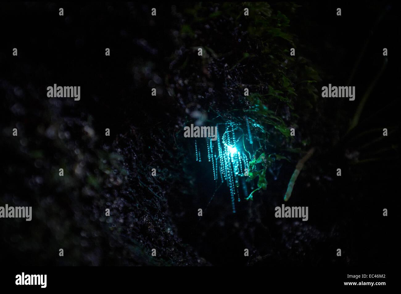 Arachnocampa Glow Worm - Stock Image