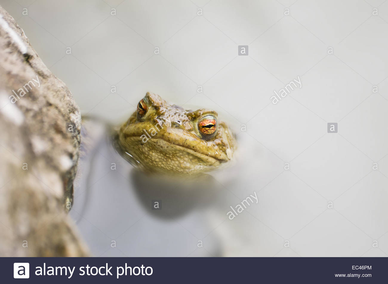 Common Toad, Bufo bufo, in a pond Stock Photo