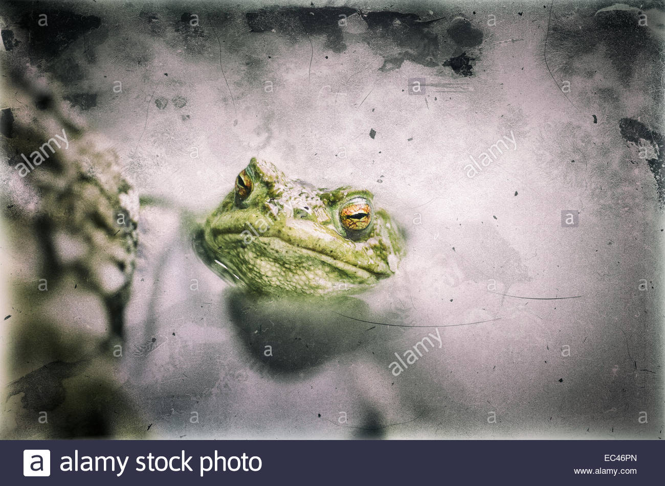 Common Toad, Bufo bufo, in a pond, filtered with aging and scratches effects - Stock Image