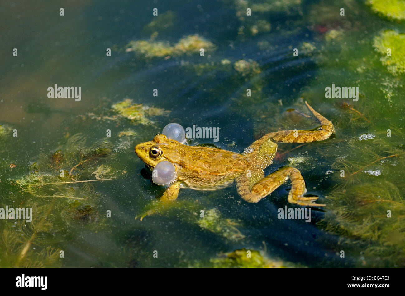Male Edible frog with distended vocal sacs - Stock Image