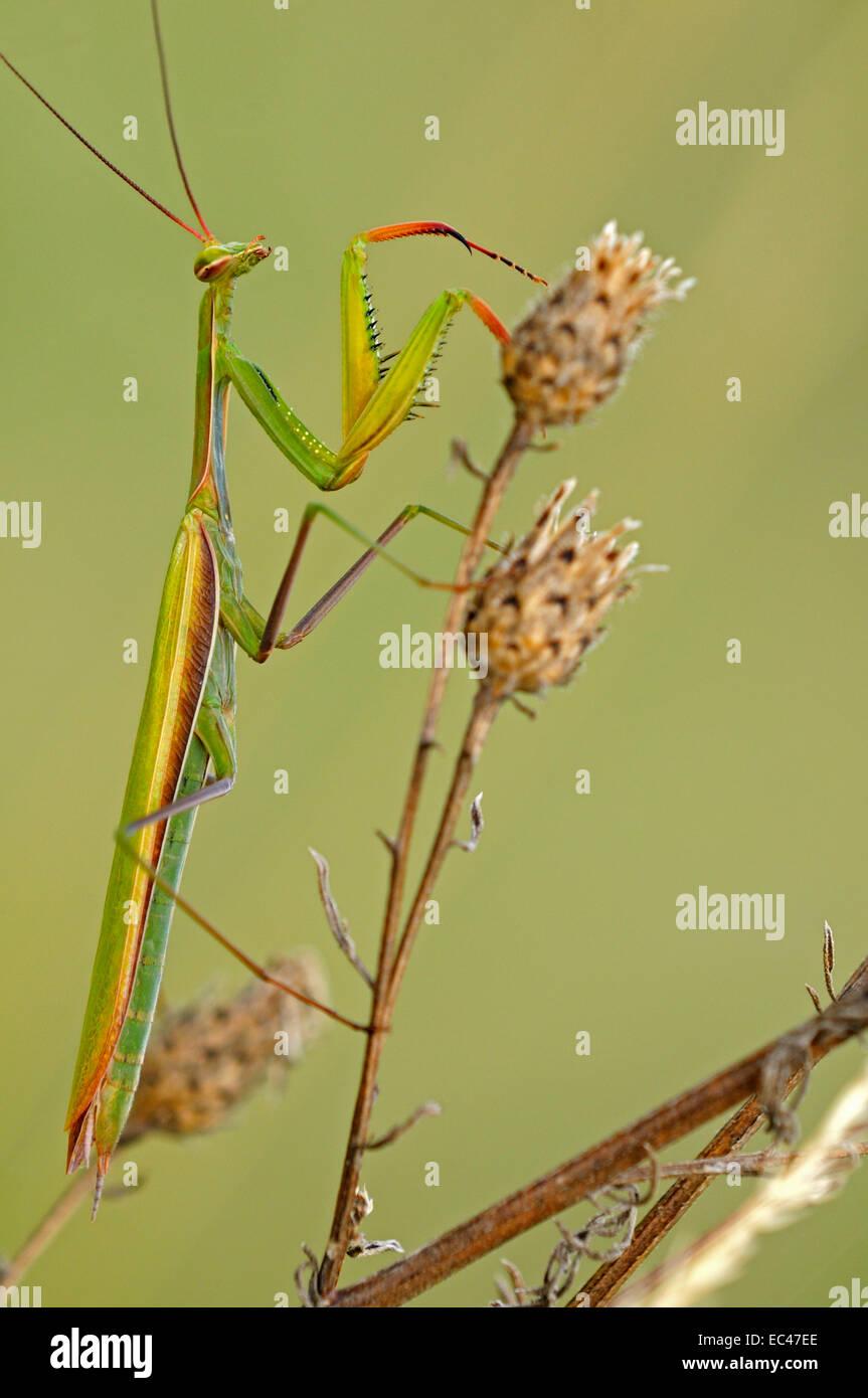 European Mantis or Praying mantis Mantis religiosa , Alsace, France Stock Photo