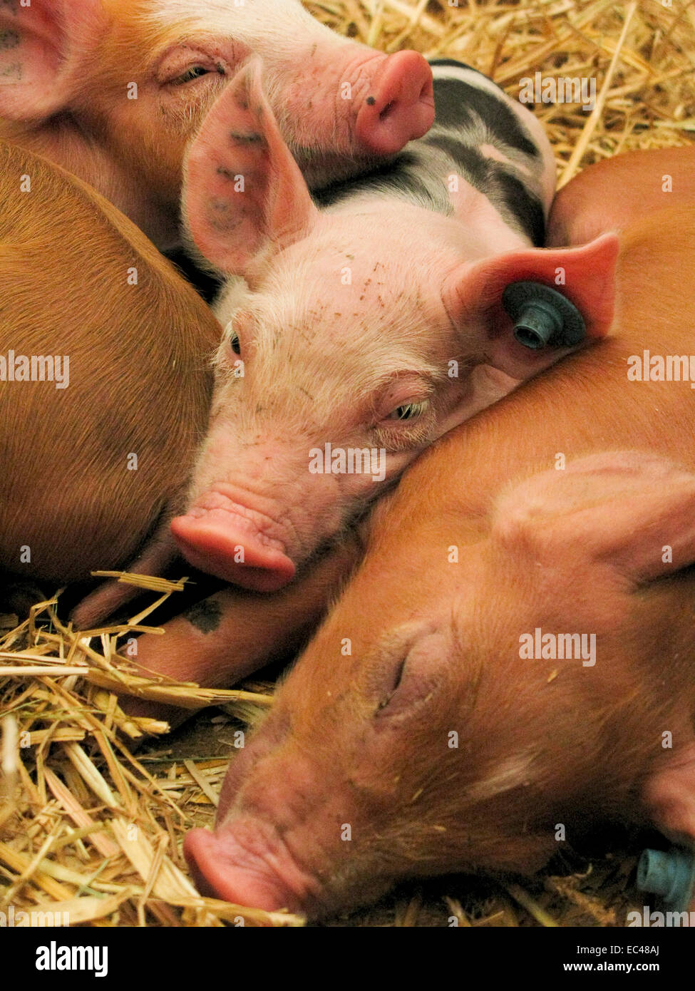 Young pigs - Stock Image