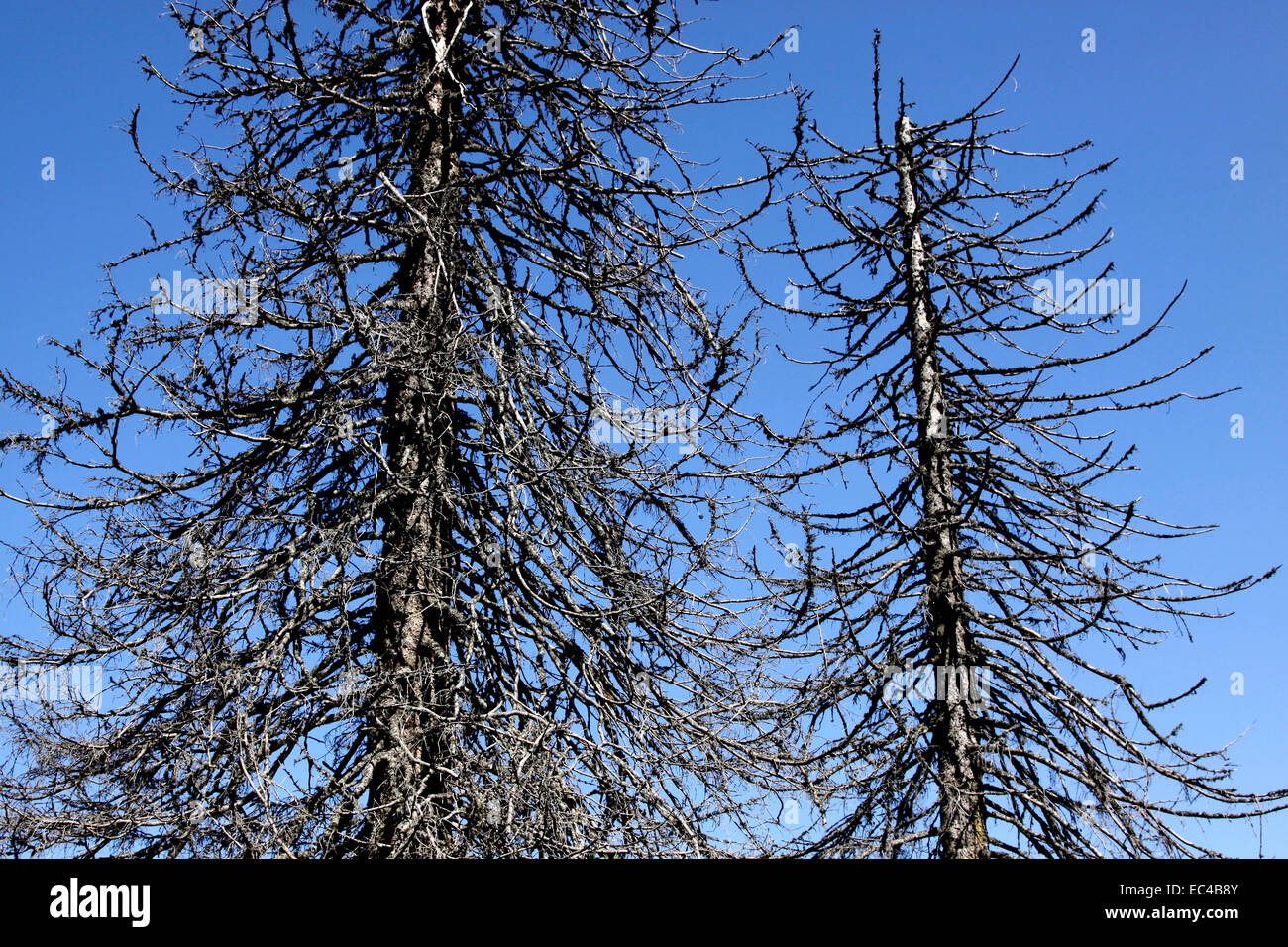 Dead spruces - Stock Image