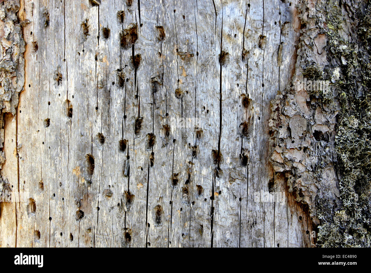 Dead spruces full of woodpecker holes - Stock Image