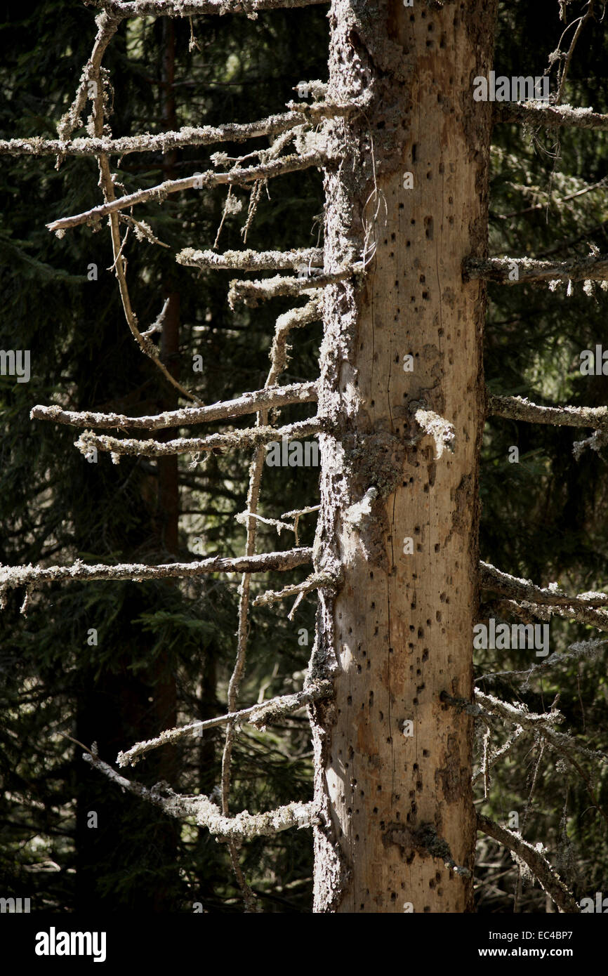 Dead spruces through infestatin of a bark beetles, black forest, germany - Stock Image