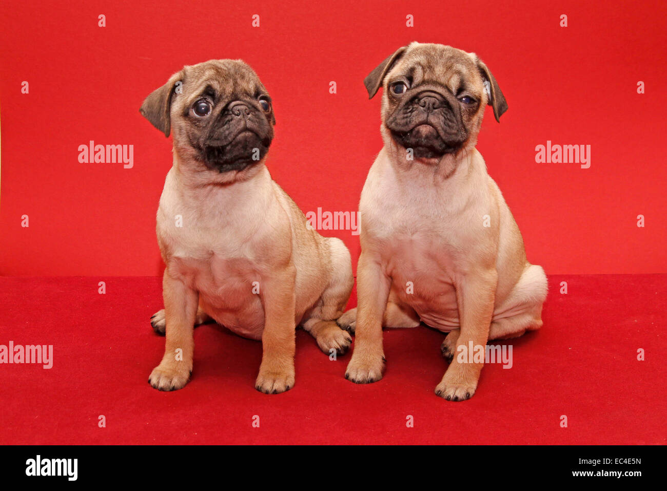 Young 10 weeks old femal pugs - Stock Image