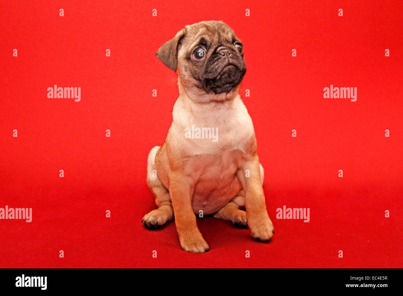 Young 10 weeks old female pug - Stock Image