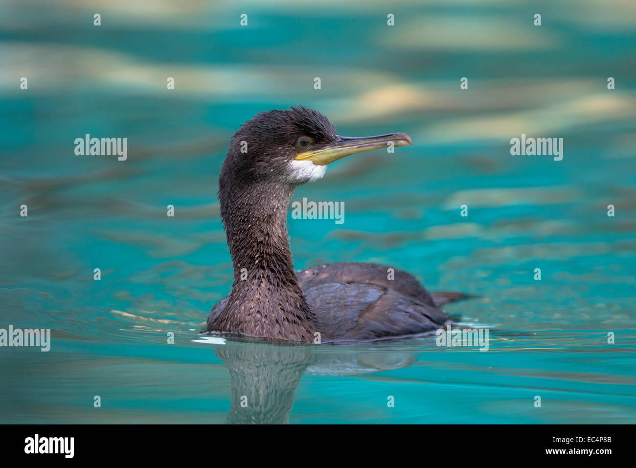 Shag; Phalacrocorax aristotelis; Juvenile; Winter; Cornwall; UK - Stock Image
