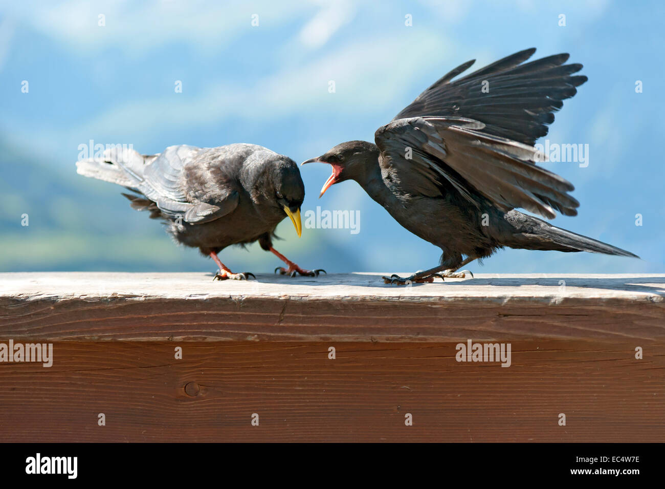 2 alpine choughs in dispute - Stock Image