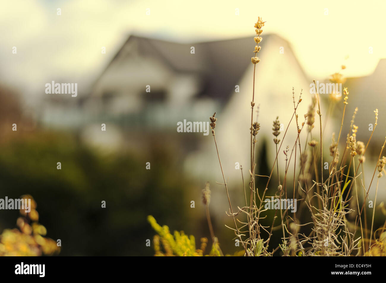 Lavender, dried plants, potted plants, winter, mild, sunny - Stock Image