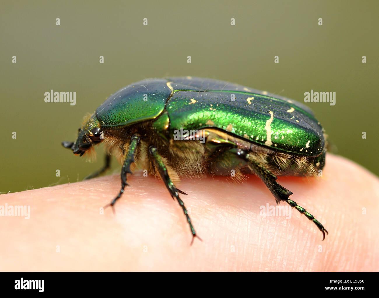 rose beetle - Stock Image
