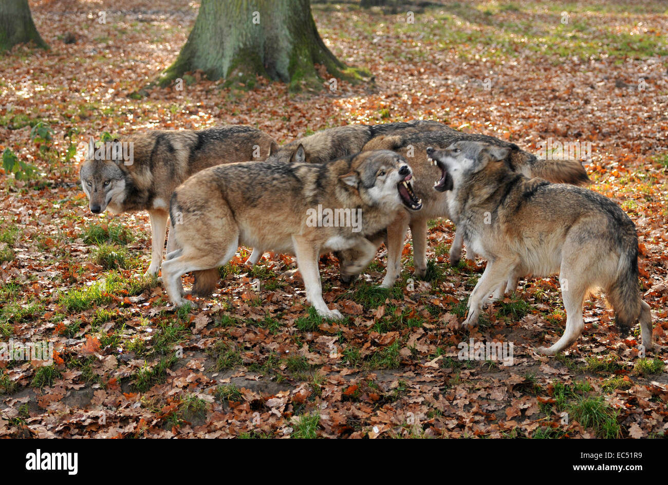 Dispute in the wolf pack - Stock Image